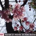 写真: 靖国神社の早咲きの桜