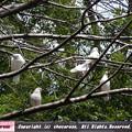 写真: 靖国神社の白い鳩