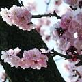あんずの花(2)