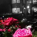 夜の薔薇♪