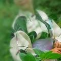 Photos: 浴衣美人と紫陽花