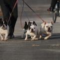 pz4528 散歩犬