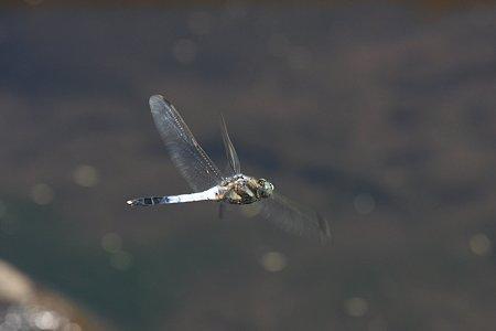 2012.05.27 和泉川 シオカラトンボ