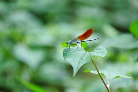 2016.05.26 瀬谷市民の森 ニホンカワトンボ