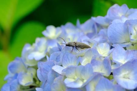 2016.05.31 追分市民の森 紫陽花にクロツヤクシコメツキ