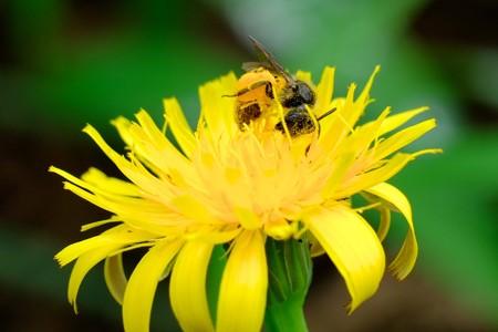 2016.05.31 追分市民の森 豚菜にヒメハラナガツチバチ 花粉団子