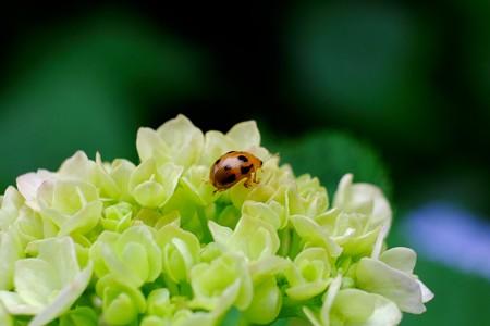 2016.06.24 和泉川 紫陽花にヤツボシハムシ