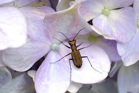 2016.06.29 追分市民の森 紫陽花にトウキョウヒメハンミョウ