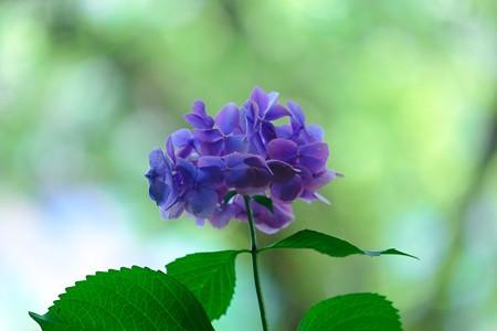 2016.07.11 瀬谷市民の森 アジサイ