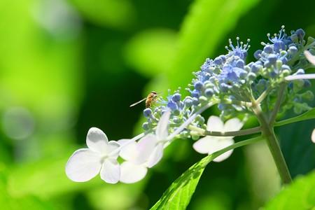 2016.07.11 追分市民の森 紫陽花にホソヒラタアブ