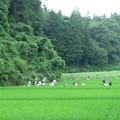 Photos: 2016.07.16 追分市民の森 田圃の草取り