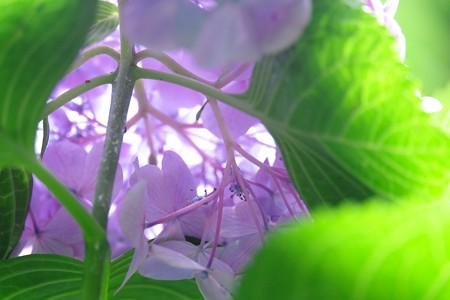 2016.07.19 瀬谷市民の森 アジサイ 本当の花