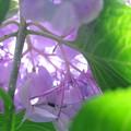 Photos: 2016.07.19 瀬谷市民の森 アジサイ 本当の花