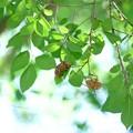 Photos: 2016.08.09 和泉川 楡の木に空蝉