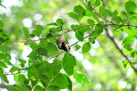 2016.09.03 追分市民の森 エゴノキにヤマガラ