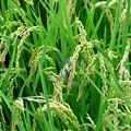 写真: 2016.09.09 追分市民の森 稲にシオカラトンボ