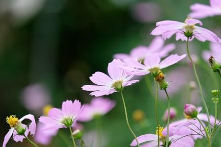 2016.09.30 和泉川 秋桜