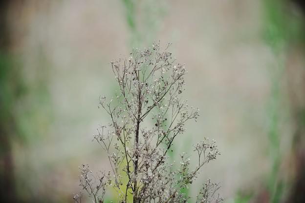 2016.11.10 追分市民の森 ムカシヨモギ