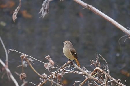 2016.11.28 和泉川 ジョウビタキ