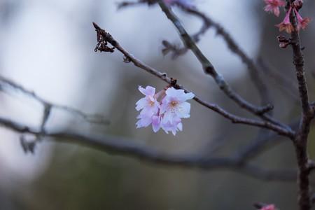 2017.01.02 ZOORASIA 十月桜