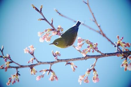 2017.02.12 和泉川 河津桜でメジロ 吸蜜