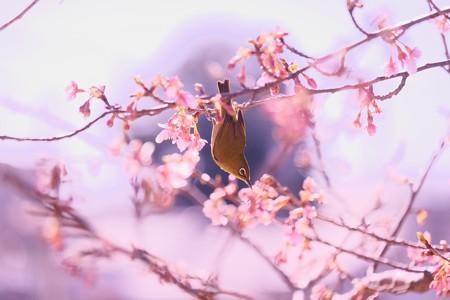 2017.02.12 和泉川 河津桜でメジロ