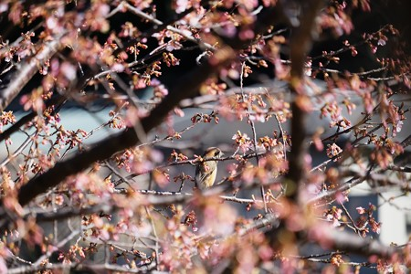 2017.02.12 和泉川 河津桜にモズ