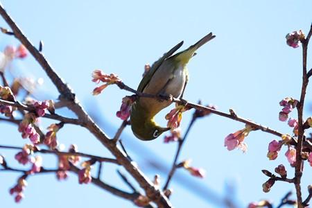 2017.02.15 和泉川 河津桜とメジロ 春