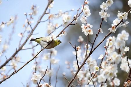 2018.02.18 和泉川 梅にへメジロ