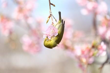 2017.02.28 和泉川 河津桜にメジロ 垂れ下がり