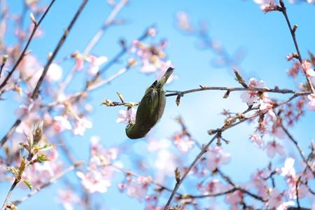 2017.03.03 和泉川 河津桜でメジロ