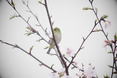 2017.03.04 和泉川 カワズザクラへメジロ 曇逆光