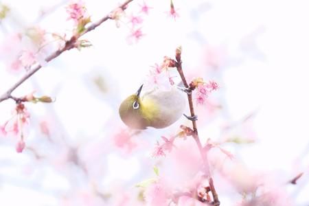 2017.03.07 和泉川 河津桜からメジロ