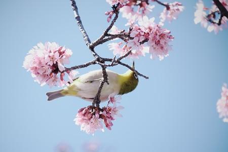 2017.03.09 和泉川 おかめ桜へメジロ 花毬