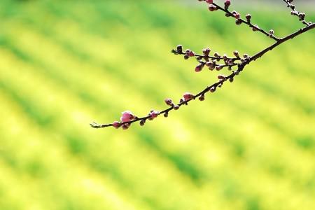 2017.03.10 追分市民の森 ハナモモ 背景菜の花
