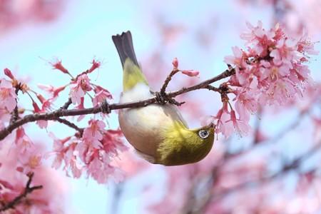 2017.03.12 和泉川 おかめ桜へメジロ 花蜜