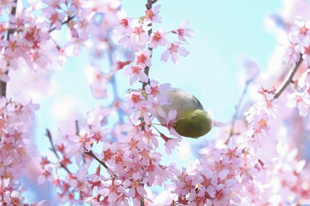 2017.03.18 和泉川 おかめ桜にメジロ 花の舞