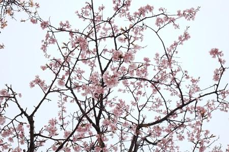 2017.03.23 大室山 桜の里