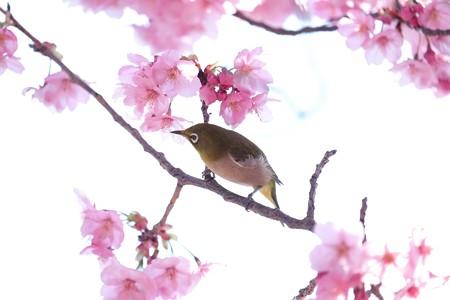 2017.03.30 和泉川 陽光桜でメジロ