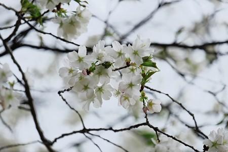 2017.03.31 追分市民の森 ヤマザクラ