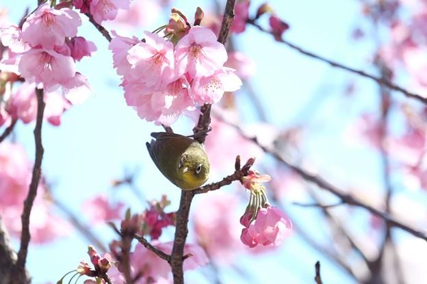 2017.04.04 和泉川 陽光桜にメジロ