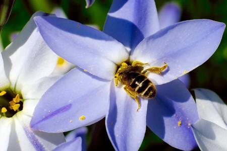 2017.04.05 追分市民の森 花韮にミツバチ