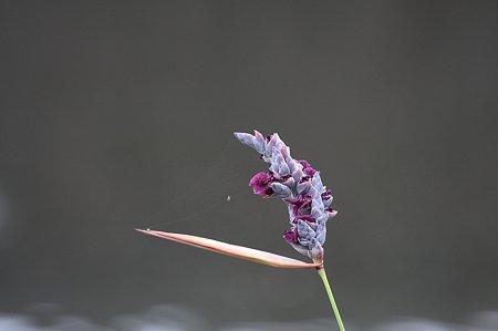 2010.06.20 和泉川 ミズカンナに蜘蛛が巣