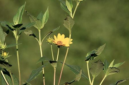 2010.08.06 和泉川 黄色い花