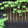 Photos: 2010.08.20 高山 上三之町 朝顔