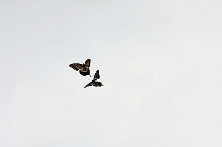 2010.09.09 追分市民の森 アゲハチョウ