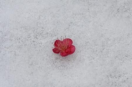 2011.02.12 和泉川 雪に落梅