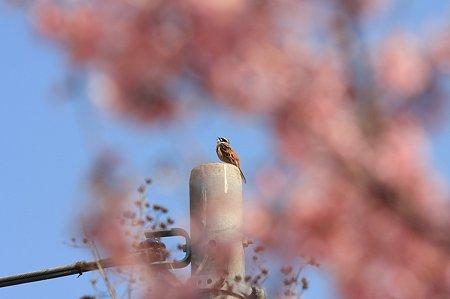 2011.03.29 和泉川 ホオジロ
