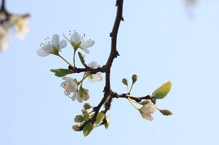 2011.03.30 和泉川 昭和桜?