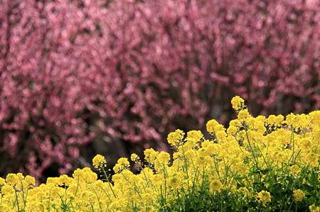 2011.03.31 追分市民の森 菜の花と桃